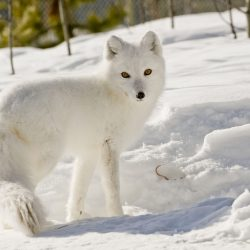 Yukon Wildife Preserve, arctic fox